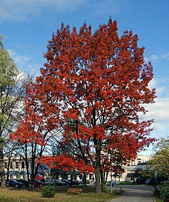 Red Oak, Prokocim, Krakow, Poland.jpg