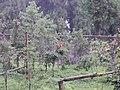 Red Panda in Gangtok Zoo.jpg