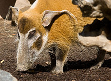Red River Hog 2.jpg