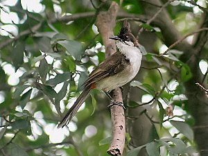 Red-whiskered bulbul - Immature of race emeria from eastern India