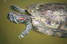 Red eared slider.jpg