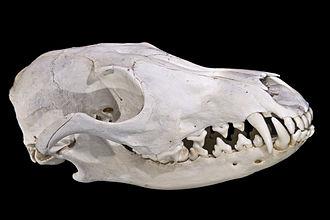 Череп обыкновенной лисицы