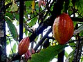 Rentapau - The Cocoa Tree - panoramio.jpg