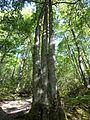 Reserva Natural Integral de Muniellos (Asturias, España) 09.JPG