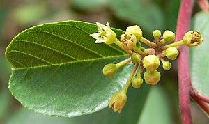 Frangula betulifolia - Image: Rhamnus betulifolia var obovata 3