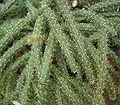 Rhipsalis pilocarpa2 ies.jpg