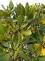 Rhizophora mangle, Red mangrove, ഭ്രാന്തൻ കണ്ടൽ,leaf .jpg