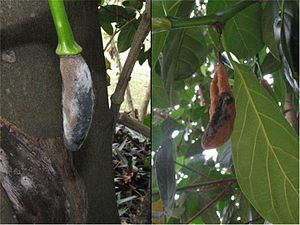 Black bread mold - Symptoms of an infection caused by Rhizopus stolonifer on Jackfruit