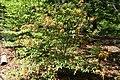 Rhododendron austrinum 12zz.jpg