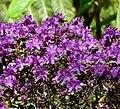 Rhododendron polycladum 2.jpg