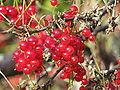Ribes rubrum 2009-08-15.jpg
