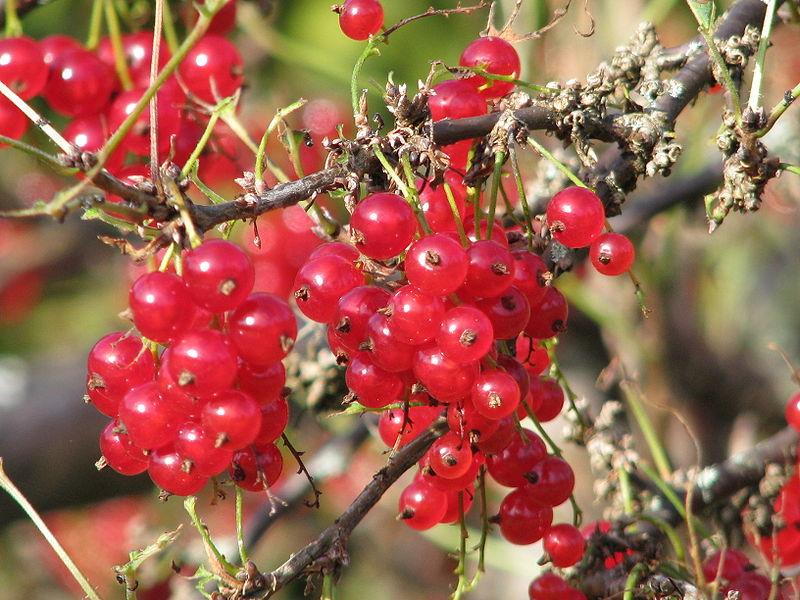 File:Ribes rubrum 2009-08-15.jpg