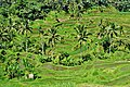 Rice Fields in Ubud Indonesia Bali - panoramio (8).jpg
