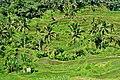 Rice Fields in Ubud Indonesia Bali - panoramio (8).jpg
