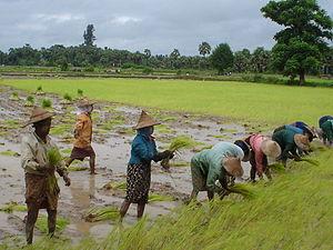 Rijstvelden Myanmar 2006