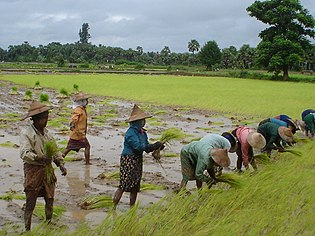 Rice Production In Myanmar Wikipedia