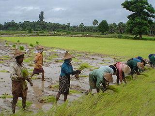 Rice production in Myanmar