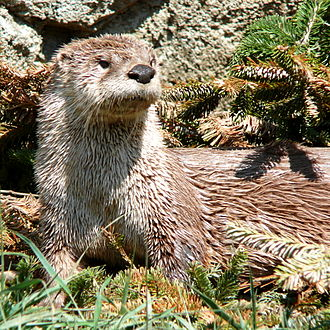 North American river otter - The river otter's sensitive whiskers allow it to detect prey in murky water. Note the inconspicuous ears.