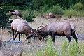 Rm-elk-locking-antlers.jpg
