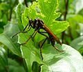 Robber fly. Asilidae - Flickr - gailhampshire (1).jpg