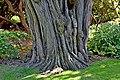Robinia pseudoacacia 01.jpg