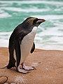 Rock Hopper Penguin London Zoo wwarby flickr.jpg