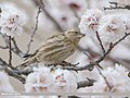 Rock Sparrow (Petronia petronia) (51397389442).jpg