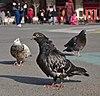Rock doves (Columba livia) standing on place de la Bourse, Brussels, Belgium (DSCF4430).jpg