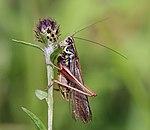 Roesel's bush-cricket (Metrioptera roeselii diluta) male.jpg