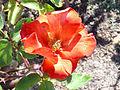 Rosa 'Encarnita de Tierno' V. Muñoz 1983 RPO4.jpg