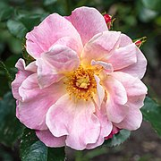 Rosa 'Exotic Sunset' (d.j.b).jpg