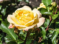 Rosa 'Lampion' (d.j.b) 03.jpg