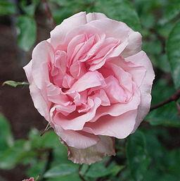 Rosa 'Mme Emilie Charron'