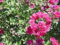 Rosa 'Perla de Alcanada' P. Dot 1944 RPO1.jpg