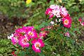 Rosa 'Pink Drift' 2.jpg