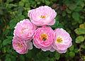 Rosa 'Scepter'd Isle'.jpg