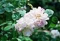 Rosa 'York and Lancaster'.jpg