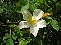 Rosa canina inflorescence (103).jpg