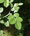Rosa rubiginosa leaf (15).jpg