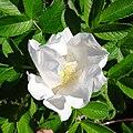 Rosa rugosa inflorescence (07).jpg