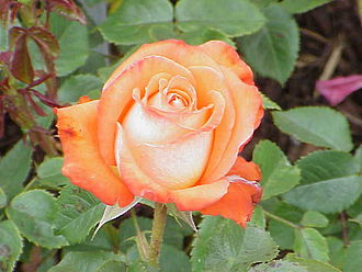 Ewige Blumenkraft - Roses are also associated with Rosicrucianism.
