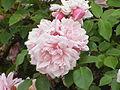 Rosa sp.21.jpg
