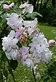 Rosarium Baden Rosa 'Blush Noisette' vor 1817 02.jpg