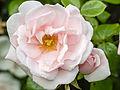 Rose (14426528522).jpg