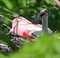 Roseate Spoonbill on nest by Bonnie Gruenberg.jpg