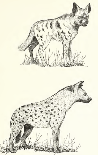 Illustration of striped hyena (top) and spotted hyena (bottom) Rosevear spotted & striped hyena.png