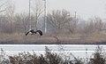 Rough-legged Hawk - CM (31369181424).jpg
