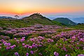 Royal Azalea In Mt Hwangmae (70775333).jpeg