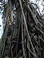 Rubber tree,nongtalang.jpg