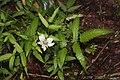 Rubus illecebrosus s6.jpg
